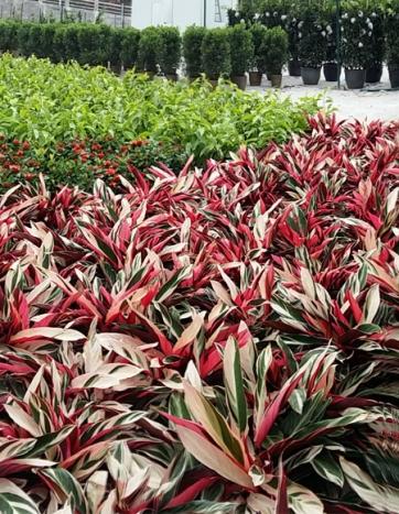 重庆地区室内办公绿化植物养护常识