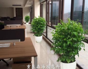 室内观赏性植物,绿宝